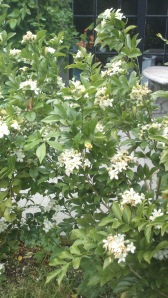 A small evergreen shrub, with very aromatic clusters of flowers